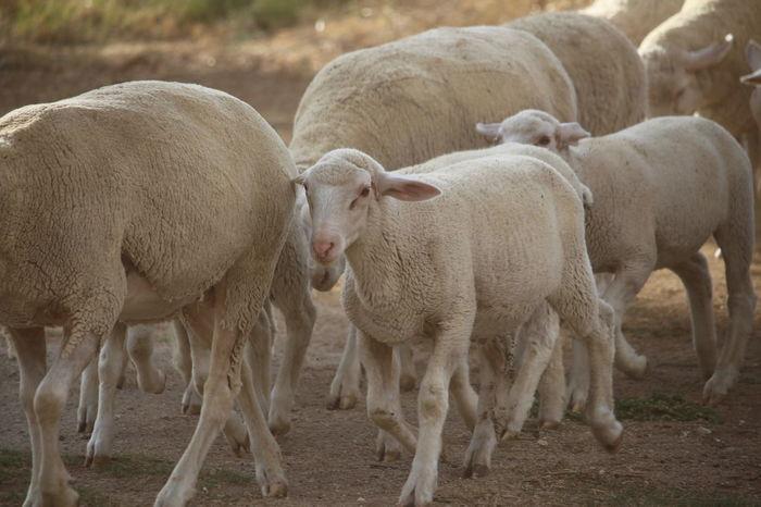 Farmingislife Meehhhhhh Nature_collection Onesheep Twosheep Sheepfarm Sheep🐑 That Face Tho Walking In Line