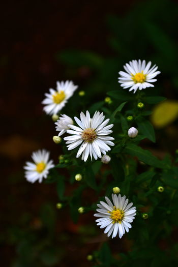 One of my earliest shots. Flower Nature Beauty In Nature White Color Growth Freshness Fragility Daisy Pollen Flower Head Close-up No People Plant Outdoors Day Beautiful Nikon Nikonphotography NikonD3100 Kerala Kerala India Palakkad First Eyeem Photo