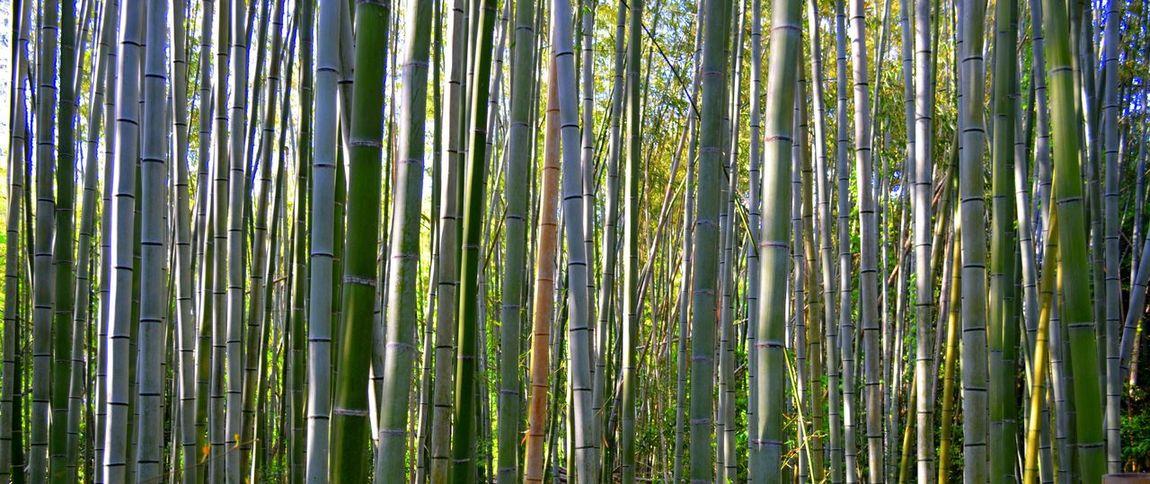 Nature's Diversities Forest Naturelovers EyeEm Nature Lover Nature Bamboo Forest Bamboo Japan Kyoto