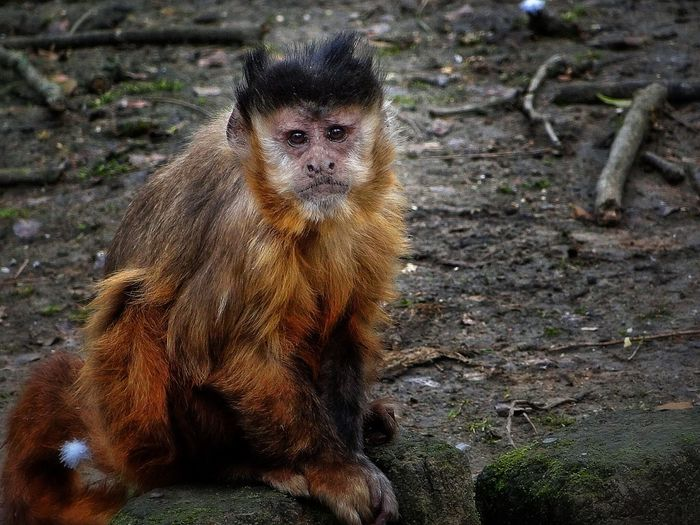 Singe fatima ta Monkey Animals Human Zoo #lille