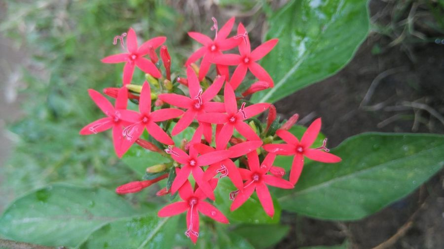 Santan Flower and leaves Santan Flowers Santan Flower Red Close-up Plant Beauty In Nature Growth Freshness Petal Nature Flower Flower Head Flowering Plant High Angle View Plant Part Outdoors