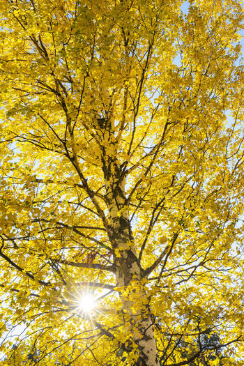 Low angle view of yellow tree in autumn