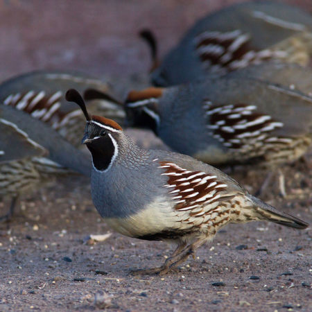 Animal Themes Animal Wildlife Animals In The Wild Beauty In Nature Bird Bird Photography Callipepla Gambelii Close-up Feather  Gambel's Quail Nature Nature Photography No People Quail Wildlife & Nature Wildlife Photography