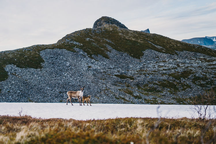 Antelope family on snow covered land