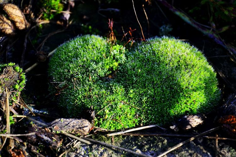 AndIloveyouforever Moss Heart Shape Sunlight Close-up Green Color