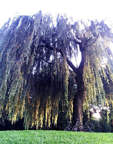 Sunset Yoga under Willow tree