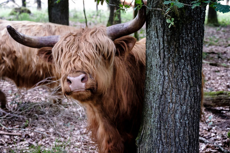 Highland Cattle Walking In Forest