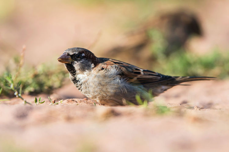 House sparrow, passer domesticus in environment.