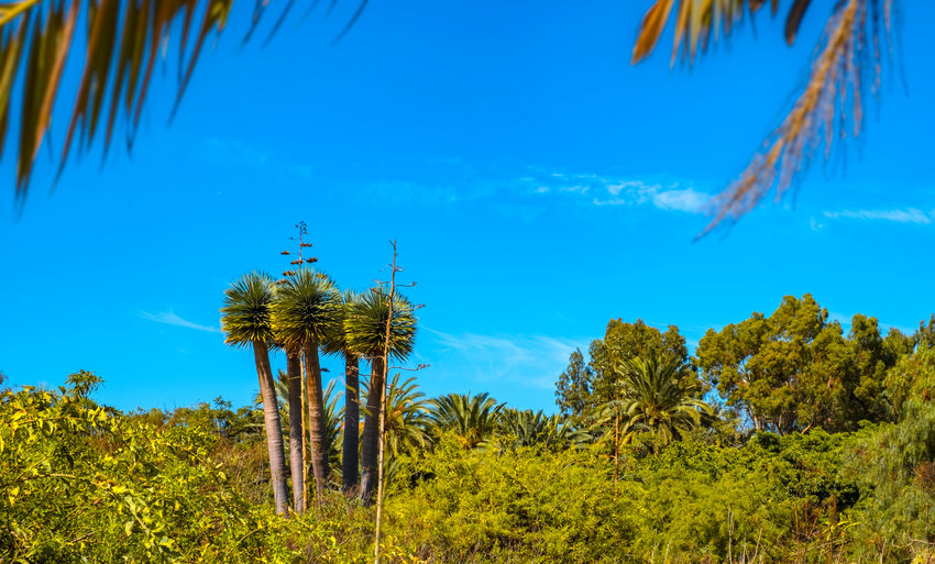 Toilet brush - That was my first thought when seeing these palms. Tenerife Teneriffa Puerto De La Cruz Taoro Taoro Park Growth Tranquility Beauty In Nature Non-urban Scene Cloud - Sky Scenics - Nature Tranquil Scene Tree Plant Palm Tree Toilet Brush Colourful Nature_collection Nature Photography Nature Landscape Landscape_Collection Landscape_photography Travel Photography Traveling