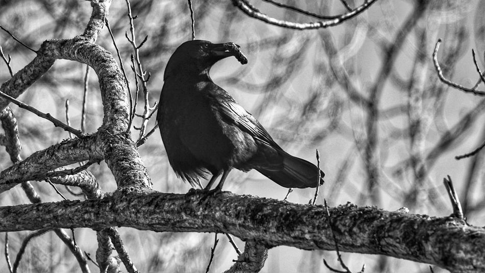 Bird Animals In The Wild Perching Animal Wildlife Animal Themes Tree One Animal No People Branch Outdoors Nature Day Crow
