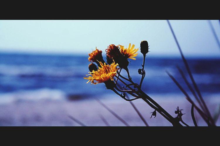 Flowers Yellow Flower Favorit I Repris EyeEmBestPics Sea And Sky ösrerlen I Love Ystad Blue Sea