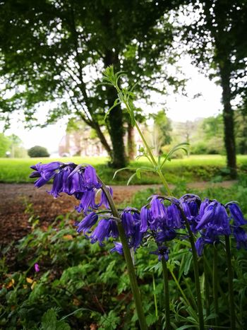 Bluebells Bluebells In The Woods Pretty♡ Green Green Green!  No People Pasture Wales, UK Manor House Gardens EyeEmNewHere