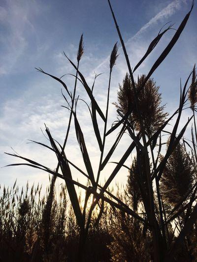 hello everyone!! ..... Sunset Silhouettes Marsh Grass Blackwater National Wildlife Refuge