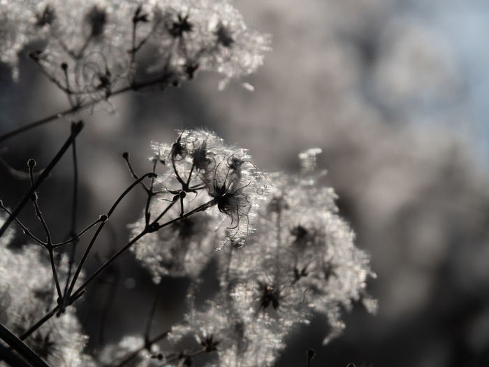 Plant Flower Flowering Plant Fragility Growth Tree Vulnerability  Beauty In Nature Focus On Foreground Day Close-up Freshness Branch Nature No People Selective Focus Springtime Blossom Outdoors Cold Temperature Flower Head Cherry Blossom Cherry Tree