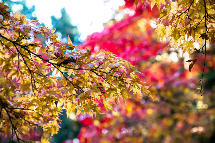 Beauty Of Fall Fall Colors Japanese Maple Beauty In Nature Japanese Maple Leaves Leaf Nature No People Outdoors Seattle Japanese Garden