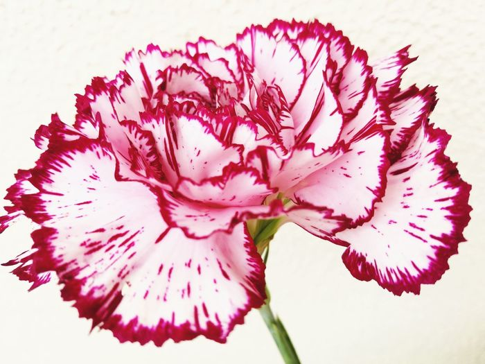 Dianthus caryophyllus Dianthus Caryophyllus Flower Head Flower Water Multi Colored Pink Color Petal Red Close-up Plant