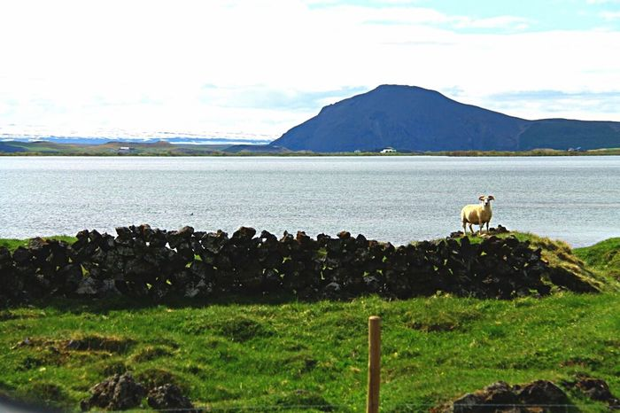 Goat Myvatn Iceland