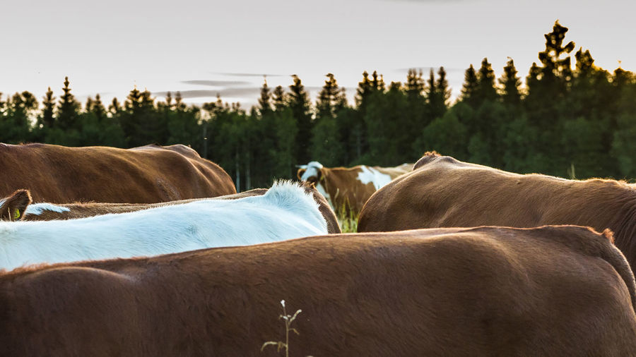 Cropped image of cows on field