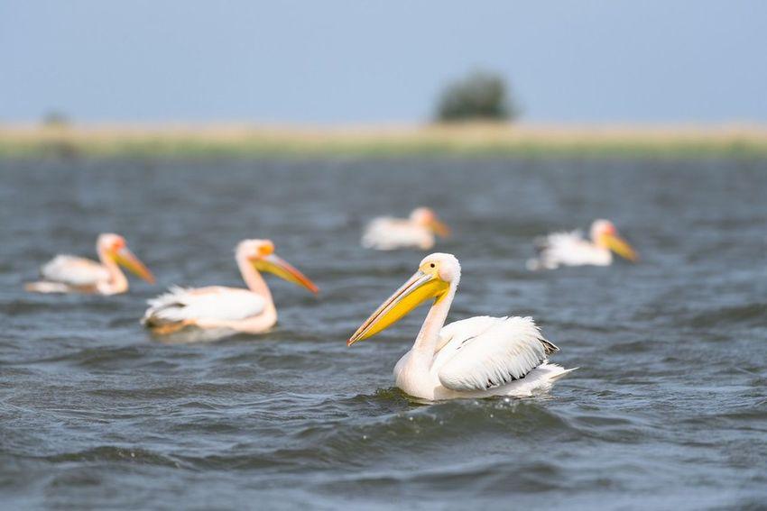 Wild Animal Animal Wildlife Water Outdoors Bird Nature Mila 23 Danube River Travel Destinations Delta Dunarii Sony Scenics Pelican White Pelicans Wildlife