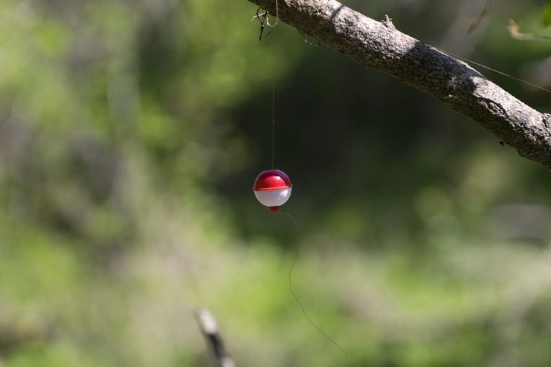 Red and white ball fishing bobber hanging upside down from a branch where it became stuck by the hook on the end of the fishing line. Beauty In Nature Bobber Bokeh Branch Close-up Day Fishing Float Focus On Foreground Forest Hanging Nature No People Outdoors Plant Red Selective Focus Stem Tranquility Tree Twig