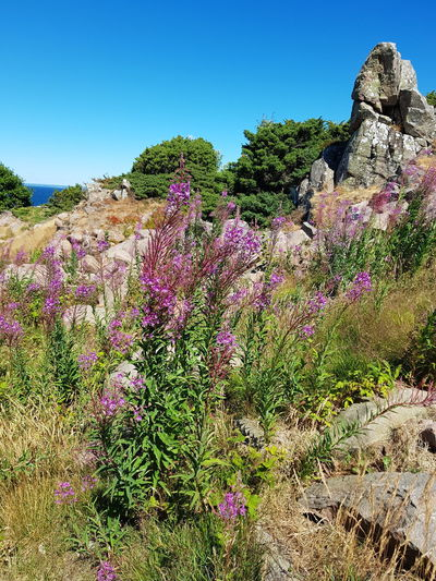 Hovs Hallar Sweden Beauty In Nature Photography Bildfolge Grassland Sky Blue Wild Flowers Nature Blooming Blossom Tree Summer Rock - Object Rock Formation Landscape Landscape_Collection Landscape_photography Flower Plant Flower Head Violet Violet Flowers Green Color Physical Geography Rocky Coastline Wildflower Geology