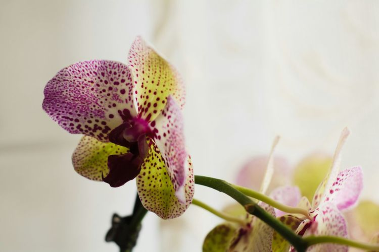 Close-up of orchid blooming