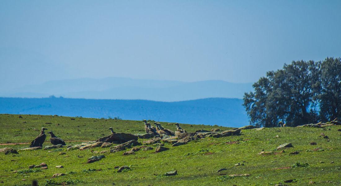 Andalucía Nature Buitres Dehesa Jaen Province Linares TrashumanciaJaén
