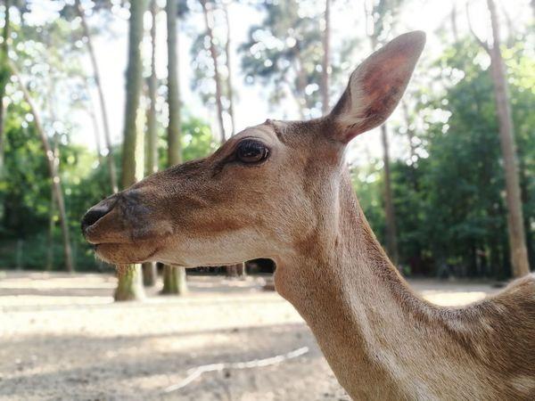 Damwild Damwild Hirschkuh Dear WoodLand Profile Tree Close-up Animal Eye HEAD Animal Ear Animal Head  Profile Animal Nose The Great Outdoors - 2018 EyeEm Awards
