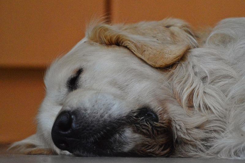 Close-up of golden retriever sleeping on floor