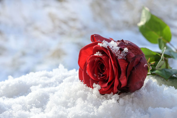 Close-up of red rose in snow