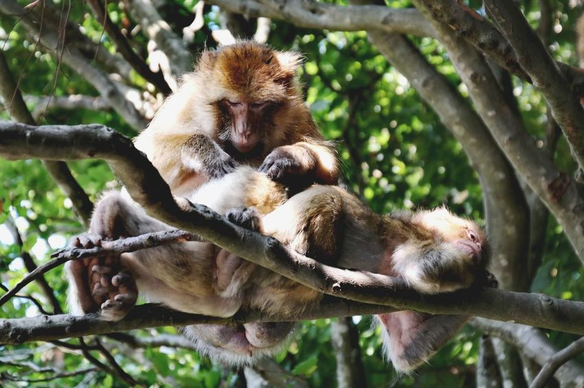 TGIF... lazy weekend Affenberg Salem Bodensee Nature Photography My Point Of View Tree Young Animal Baboon Close-up Primate Animal Family Monkey