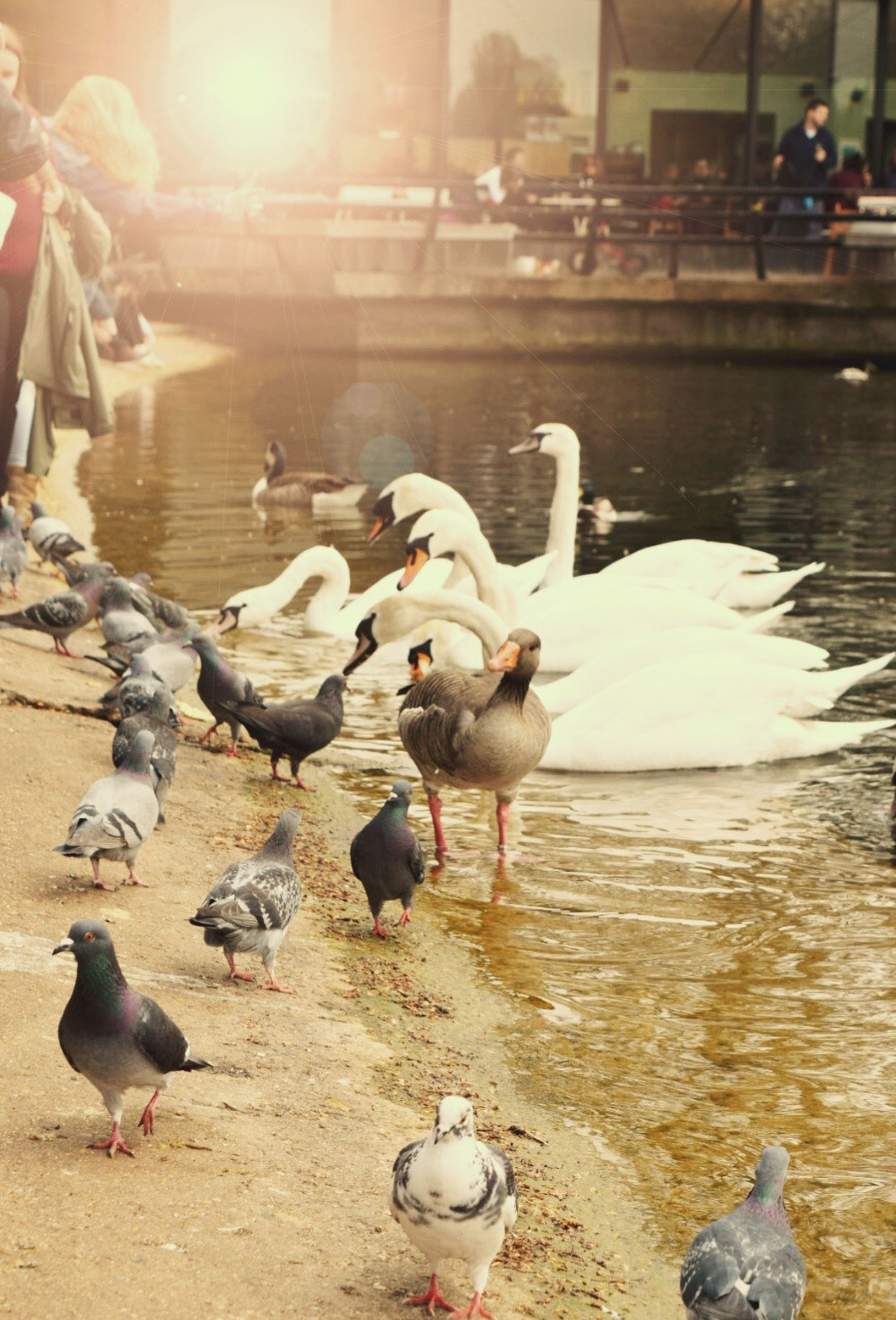 bird, animal themes, animals in the wild, wildlife, water, flock of birds, duck, seagull, nature, medium group of animals, pigeon, lake, shore, reflection, beach, outdoors, togetherness, sunlight, swan