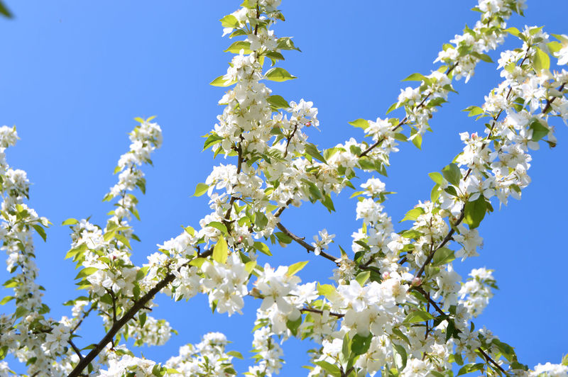 The apple trees are blooming white flowers in the city park under spring City Plant Apple Trees  Beauty Beauty In Nature Blooming Blossom Blue Botanical Branch Cherry Blossom Cherry Tree Clear Sky Colorful Day Flower Flowering Plant Fragility Freshness Growth Low Angle View Nature No People Outdoors Park Plant Sky Spring Springtime Sunlight Tree Vulnerability  White