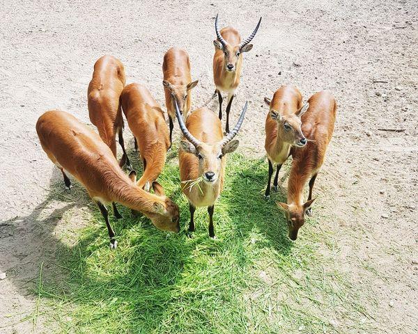 dinnertime Zoo Cage Sitatunga Zoo Animals  Mammals Antelope Animal Animal Photography Animal Family EyeEm Selects Feeding Animals High Angle View Close-up Animals In Captivity