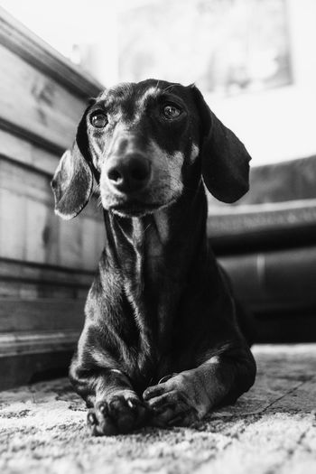 Dackel Animal Themes Black And White Black And White Photography Close-up Dachshund Day Dog Domestic Animals Indoors  Looking At Camera Mammal No People One Animal Pet Pets Portrait Sitting