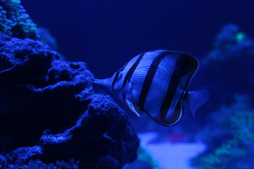Striped fish Sea Life Saltwater Sea Blue One Animal Swimming Animal Wildlife Water Animals In The Wild Animal Themes Nature Close-up Aquarium No People Scuba Diving