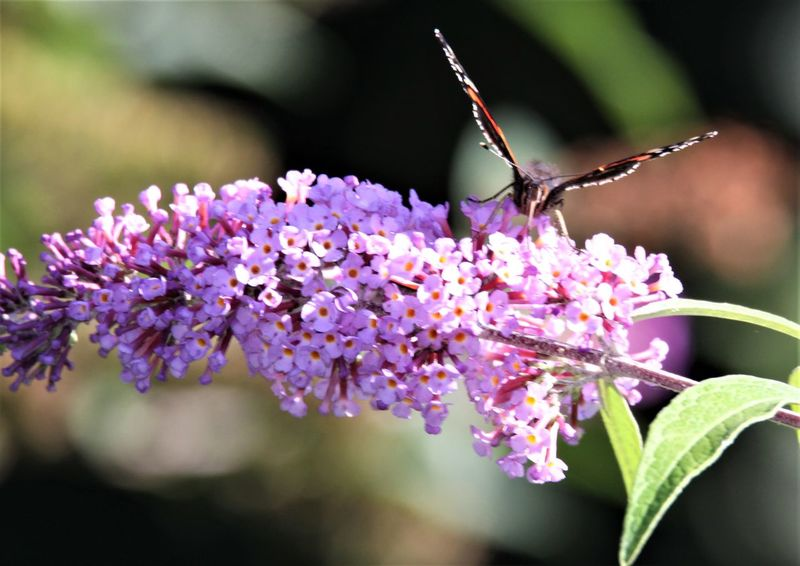 Butterfly Lilac Flower Lilac Summer Lilac Butterfly Flower Flowering Plant Plant Beauty In Nature Fragility Vulnerability  Invertebrate Animal Wildlife Insect Animal Themes Animals In The Wild One Animal Animal Close-up Freshness Growth Petal Nature Focus On Foreground Day
