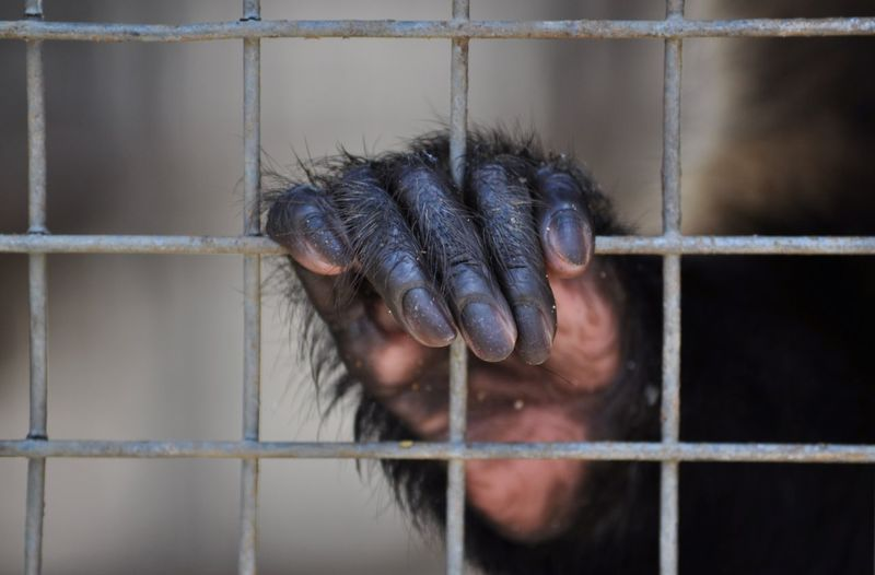Close-up of gorilla in cage at zoo