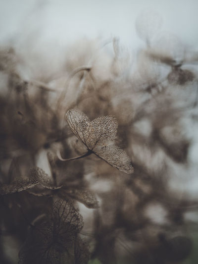 Dark and moody macro dead hydrangea skeleton Plant Close-up Growth Nature Selective Focus No People Beauty In Nature Tranquility Dry Day Vulnerability  Focus On Foreground Cold Temperature Fragility Winter Outdoors Leaf Plant Part Flower Dead Plant Ice Wilted Plant Dried Leaves