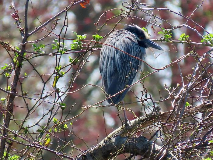 Yellow crowned night heron perched atop a bare tree branch surrounded by bare tree branches focus on the foreground outdoors beauty in nature animal themes birdwatching Animal Wildlife Animal Themes Bird One Animal Low Angle View No People