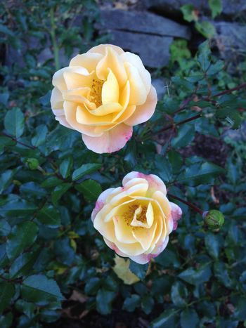 Amber Roses Flowers Roses I Grew This