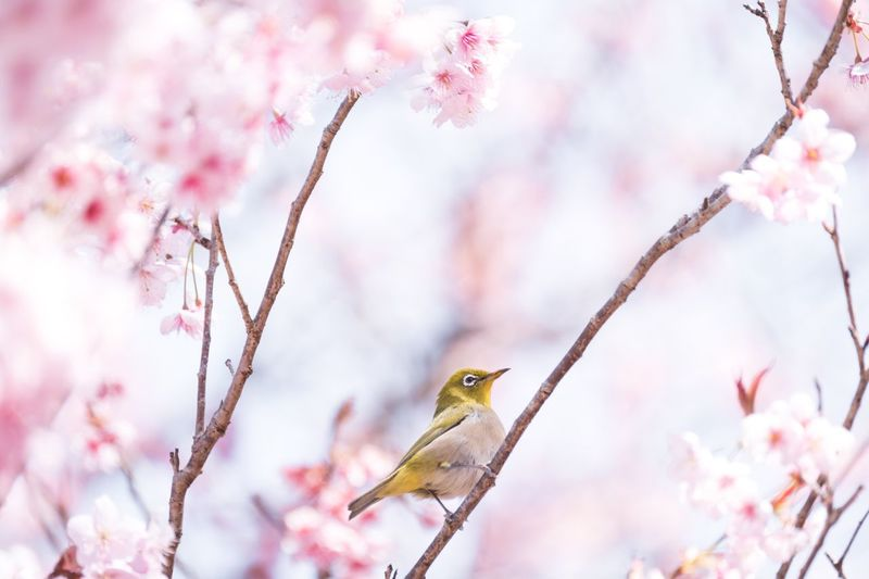 Bird Nature Flower Beauty In Nature No People Animals In The Wild Plum Blossom Japan Millennial Pink