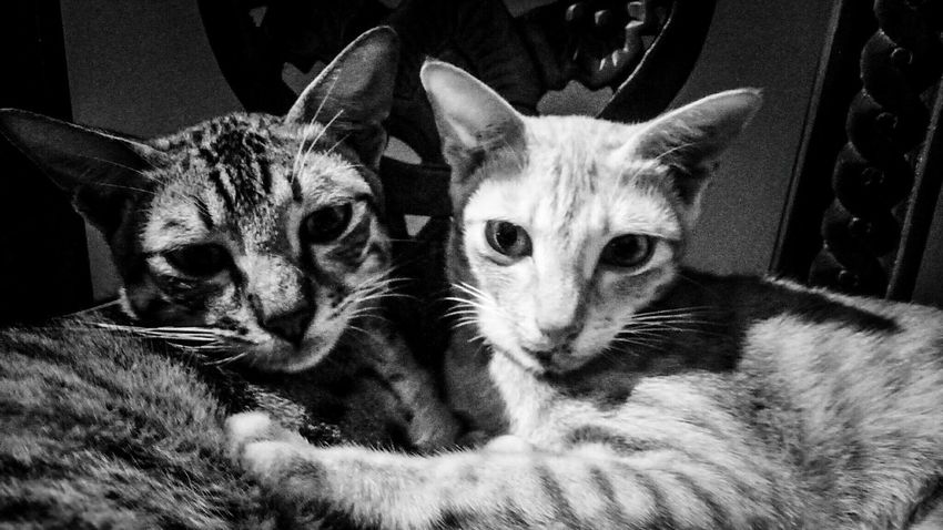 Pets Domestic Cat Domestic Animals Mammal Animal Themes Looking At Camera Togetherness Close-up Day Cats Couple Photography Photooftheday Black And White Photography Black&white TheWeekOnEyeEM