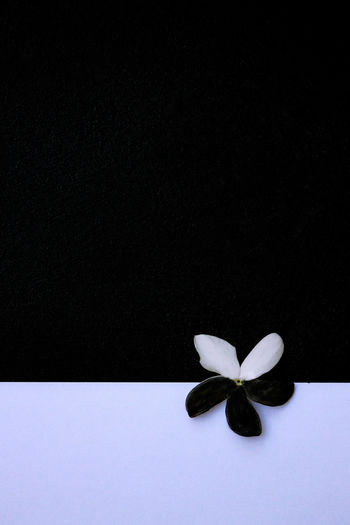 Difference  Integration White Jasmine Flowers An Agreement Beauty In Nature Black Black And White Black And White Photography Black Background Close-up Flower Flower Head Flowering Plant Jasmine Flower Nature No People Purity Purity In Nature Studio Shot White White Color White Flowers White Jasmine The Still Life Photographer - 2018 EyeEm Awards