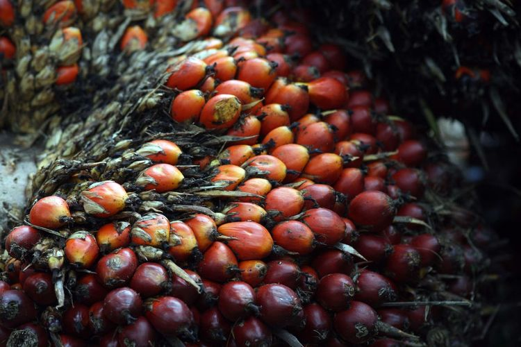 Oil Palm fruits Abundance Close-up Day Focus On Foreground Food Food And Drink Freshness Fruit Full Frame Growth Healthy Eating High Angle View Large Group Of Objects Leaf Nature No People Outdoors Red Ripe Selective Focus