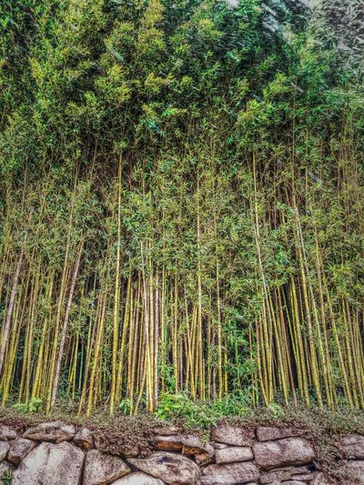Bamboo Grove Scenics Finding New Frontiers EyeEm Best Edits EyeEm Gallery EyeEm Best Shots Monteverde Bamboo Trees Green Bamboo No People Nature Beauty In Nature