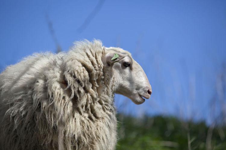 Close-up of sheep against sky