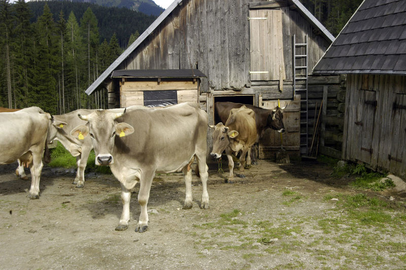 Cows grazing in a house