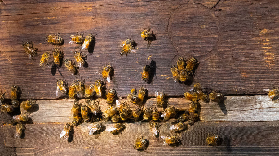 Bees flying into and out of old wooden bee hive