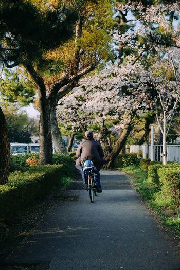 Riding through sakura trees Sakura Sakura Blossom Sakura 2018 Kyoto Riding Bike Daily Ordinary Day